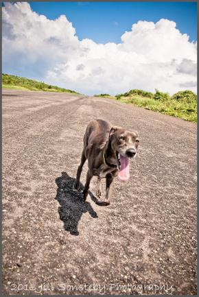 Dog running on airport tarmac on the island of Utila.